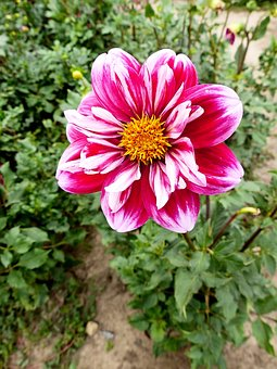 Dahlia, Flower, Plant, Bloom, Flora, Petals, Red