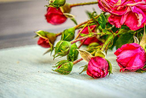 Bud, Roses, Blossom, Bloom, Leaves, Pink, Cut Off