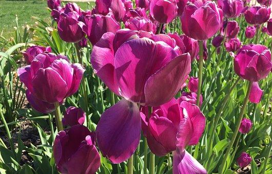 Tulips, Flowers, Blooms