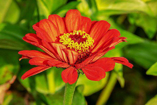 Zinnia, Flower, Blossom, Bloom, Bright, Red, Plant