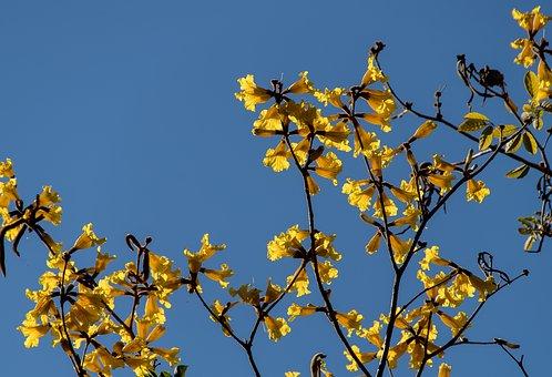 Blossom, Flowers, Blooms, Yellow, Tree, Australia