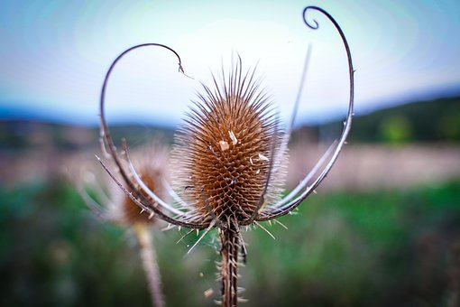 Thistle, Silver Thistle, Meadow, Dry, Brown, Macro
