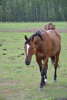 Horse, Brown Horse, Horse In Field