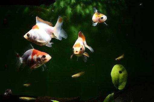 Goldfish, Fish, Aquarium, Carassius Auratus