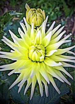 Flower, Dahlia, Ornamental Plant, Composites