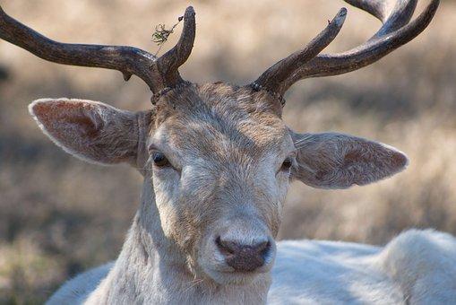 Buck, Deer, Animal, Wildlife, Mammal, Nature, Antlers