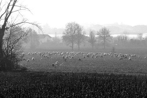 Sheep, Fog, Fields, Nature, Rural, Flock, Prato