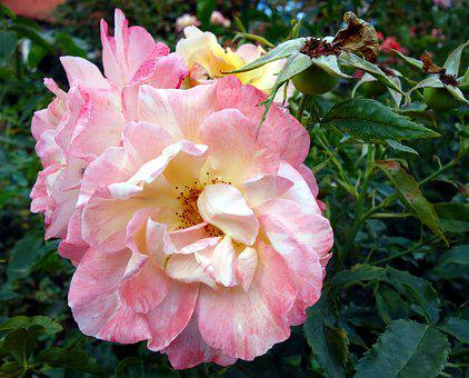 Rose, Pink Rose, Blossom, Bloom, Flower, Bloom