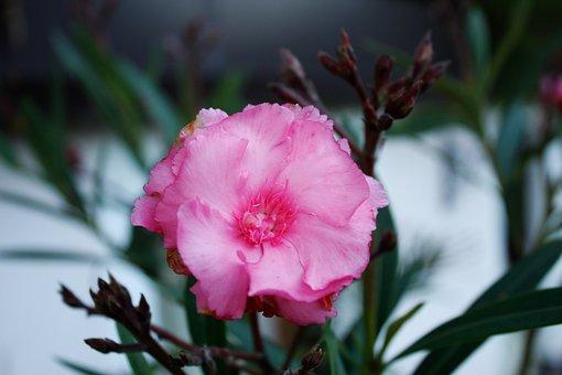 Pink, Macro, Flower, Nature, Bloom, Petal, Garden