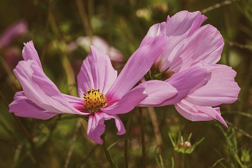 Flower, Cosmea, Cosmos, Close Up, Ornamental Plant