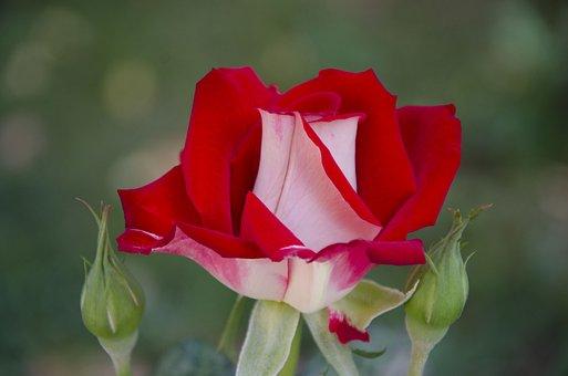 Rose, Red Rose, Flower, Beautiful