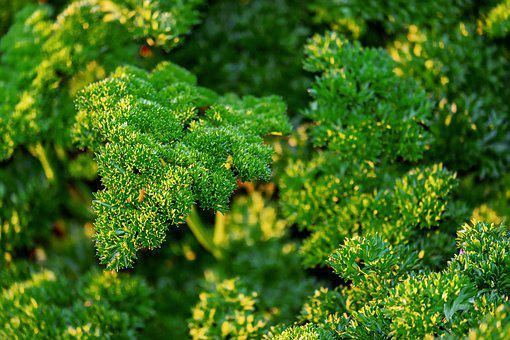 Parsley, Petroselinum Crispum, Herbs, Spice, Food