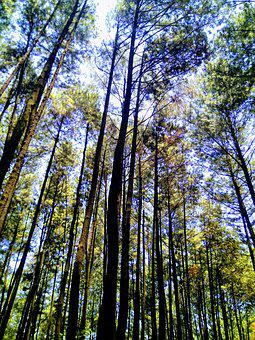 Pine Forest, Tree, High, Forest, Nature, Pine, Trees