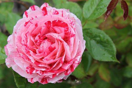 Rose, Garden, Painted, Bloom, Flower, Blossom, Nature