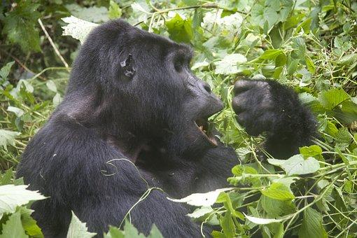 Gorilla, Wildlife, Animals, Monkey, Eat, Uganda