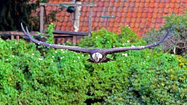 Griffon Vulture, Vulture, Bird Park Walsrode