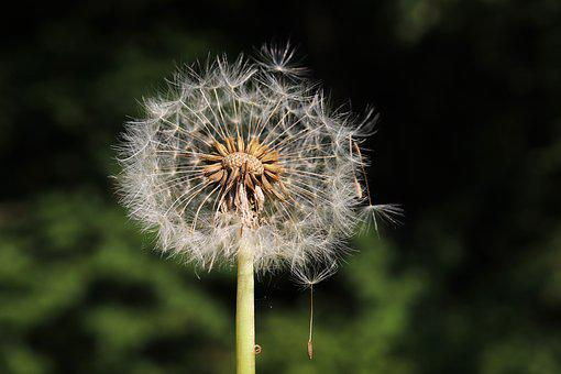 Dandelion, Heaven And Hell, Flower, Plant, Blow