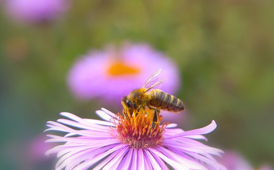 Bee Miodna, Insect, Flower, Apiformes, Animals, Nature