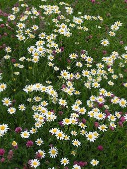 Daisies, Klee, Meadow, Summer, Wild Flowers