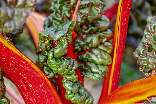Chard, Beta Vulgaris, Vegetable Plant, Leafy Vegetables