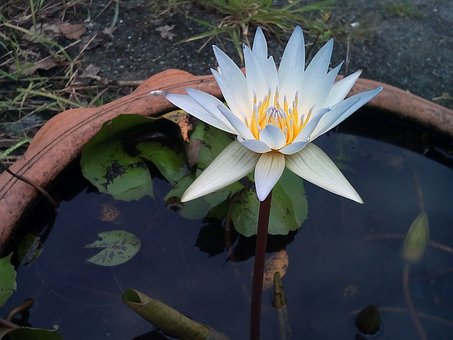 Lotus Leaf, Lotus, Water Plants, Flowers, Lotus Lake