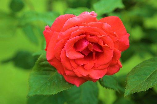 Rose, Nature, Flower, Romantic, Plant, Love, Romance