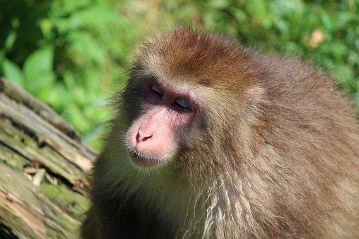 Monkey, Macaque, Mammals, Primate, Zoo, Nature, Fur