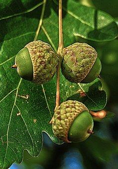 Oak, Acorns, Fruit, Leaves, Nut, Infructescence, Macro