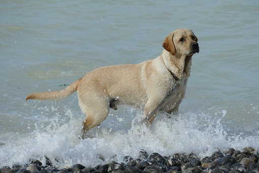 Dog, Pet, Mammal, Labrador, Play, Water, Sea