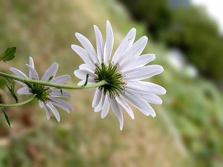 Gujeolcho, White Flower, Mother Flower