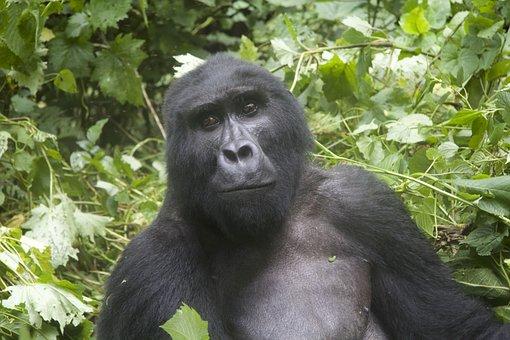 Gorilla, Wildlife, Uganda, Posing, National Park