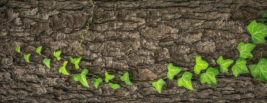 Ivy, Plants, Nature, Leaf, Green, The Leaves, Vine