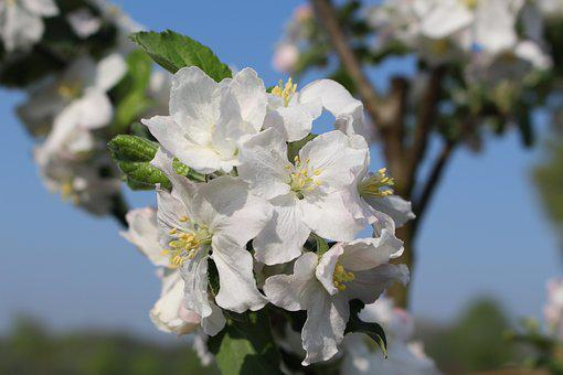 Spring, Apple Blossom, Nature, Apple Tree, Pink, Branch