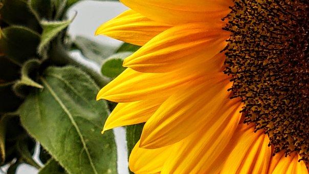 Sunflower, Nature, Yellow, Flower, Summer, Blossom