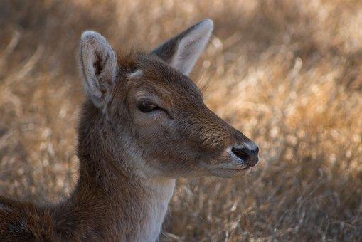 Deer, Doe, Nature, Wildlife, Outdoors, Wild, Animal