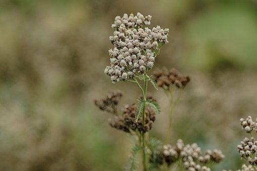 Wild Flower, Plant, Nature