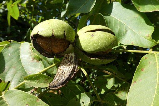 Walnut, Bolster, Tree, Fruit, Autumn, Food, Nuts
