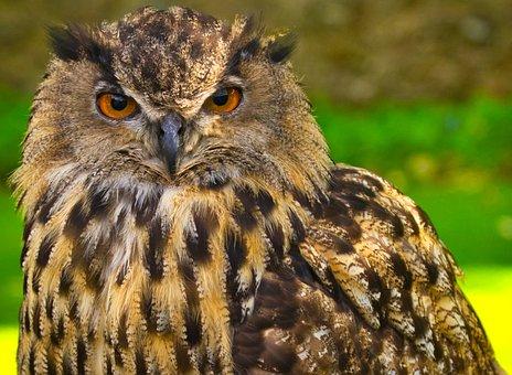 Owl, Nature, Bird Of Prey, Wild Animal, Hunting, Bird