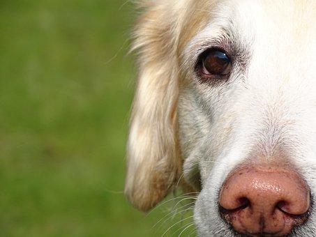 Dog, Nose, Portrait, Snout, Golden Retriever, Pet