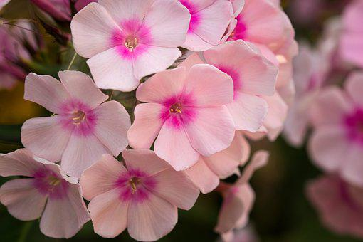 Phlox, Blossom, Bloom, Close Up, Pink, Bloom