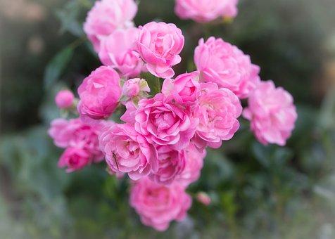 Roses, Pink, Flowers, Romantic, Rose Flower