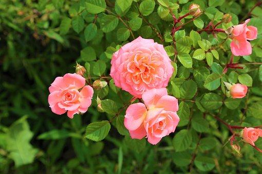 Rose, Nature, Roses, Plant, Flower, Romantic, Love