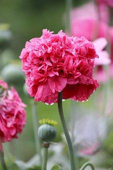 Poppy, Flower, Pink, Dewdrops, Garden, Nature