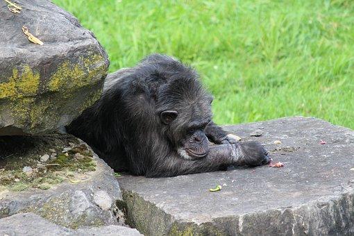 Monkey, Chimpanzee, Mammals, Primate, Zoo, Nature, Fur