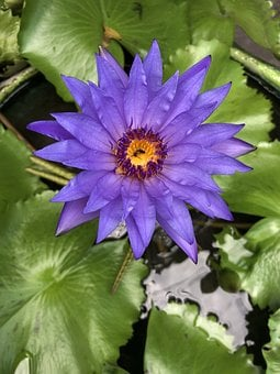 Purple Lotus, Purple Flower, Water Flower, Lotus Leaf