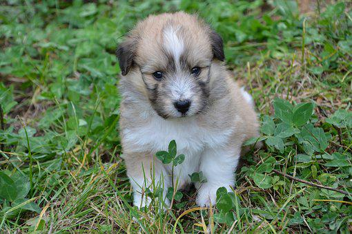 Puppy, Pup, Dog Cross, Race Cotton Shetland