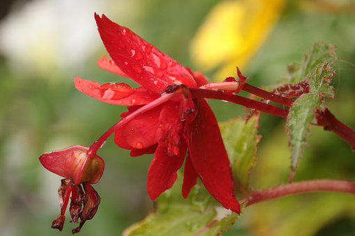 Flower, Rain, Color, Drops, Red, Alone