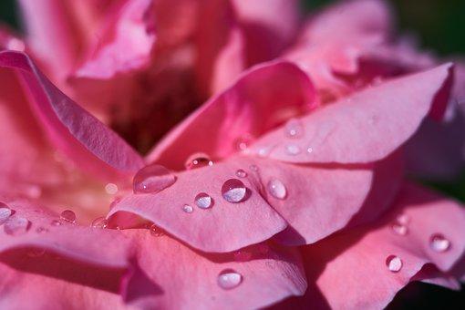 Rose, Leaves, Pink, Wet, Drop, Macro, Romance, Flower