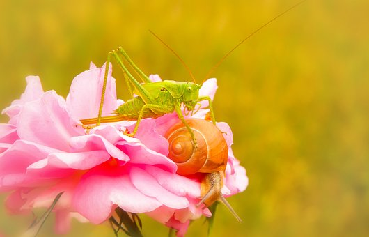 Grasshopper Green, Insect, Molluscs, Snail, Rose