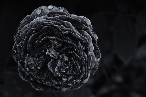 Rose, Drop Of Water, Black And White, Raindrop